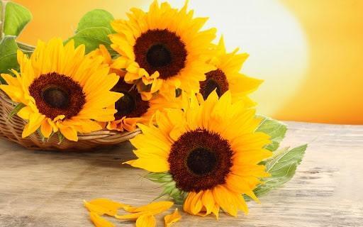 آموزش کاشت گل آفتابگردان در خانه