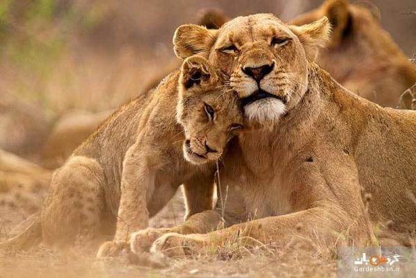 پارک شیرهای ژوهانسبورگ؛ نوازش شیرها از نزدیک!